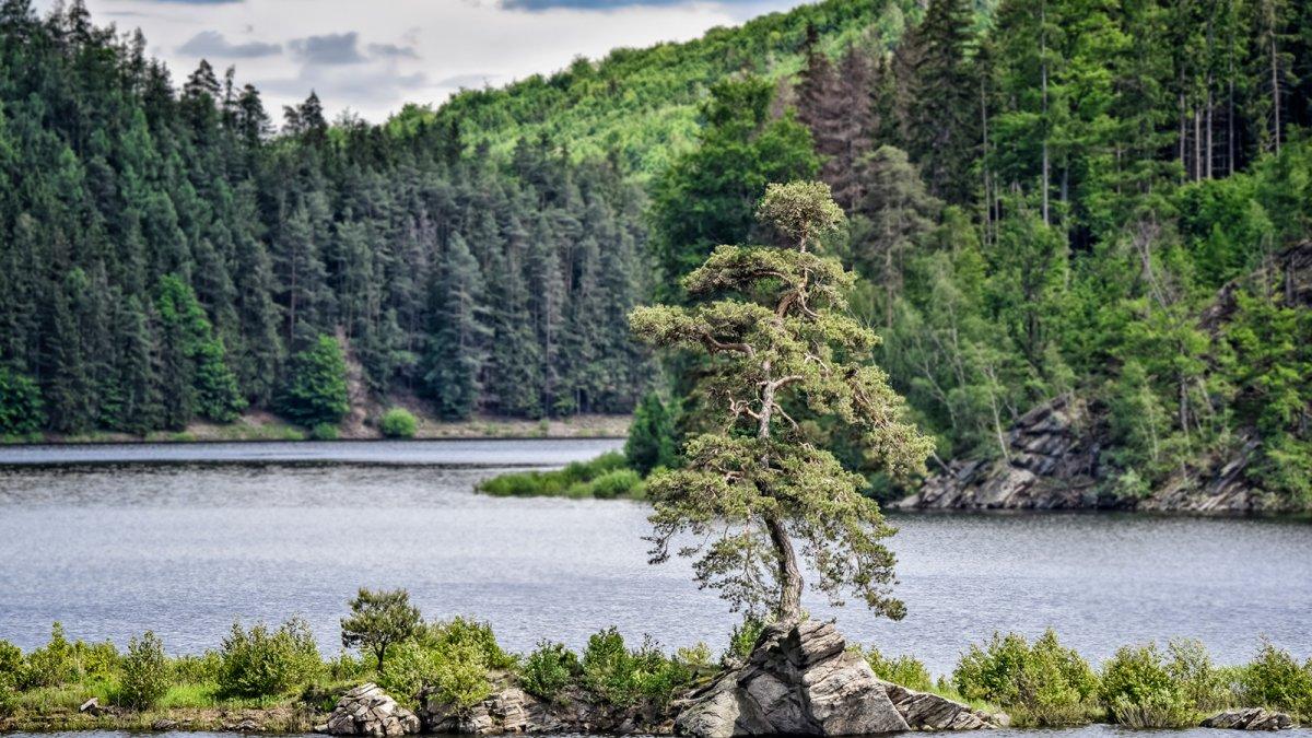 Hlasujte pro Chudobínskou borovici v anketě Evropský strom roku 2020
