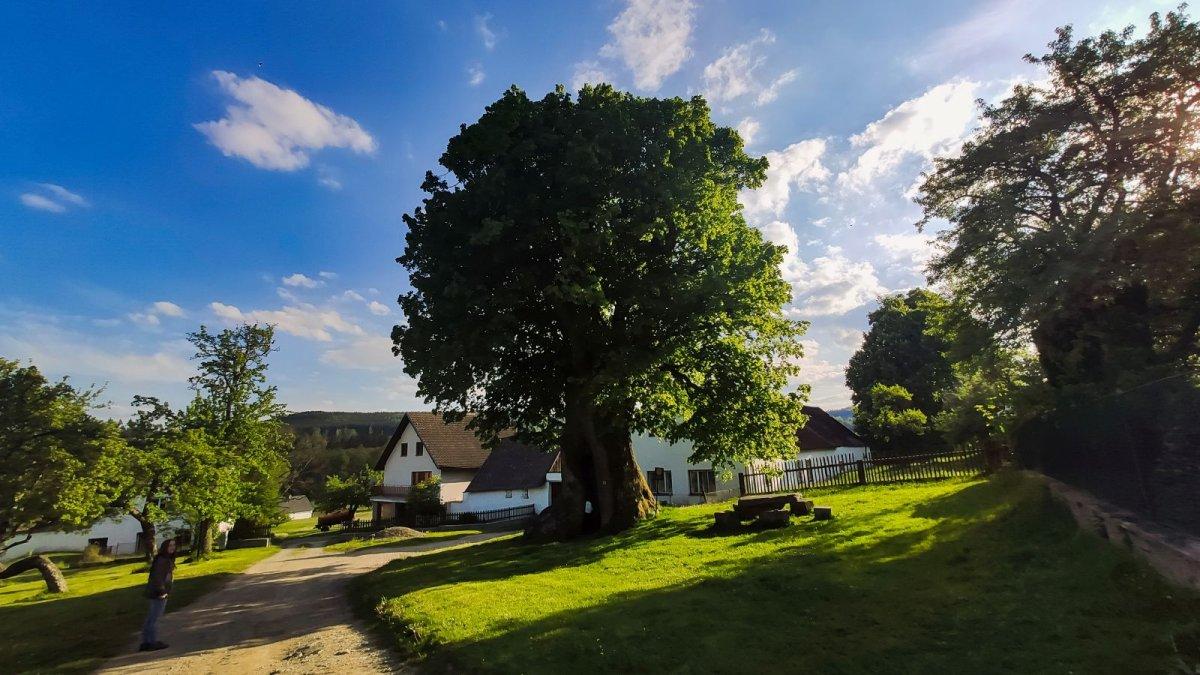 Bude Strom roku opět z Vysočiny? Do letošního finále postoupila Praskoleská lípa