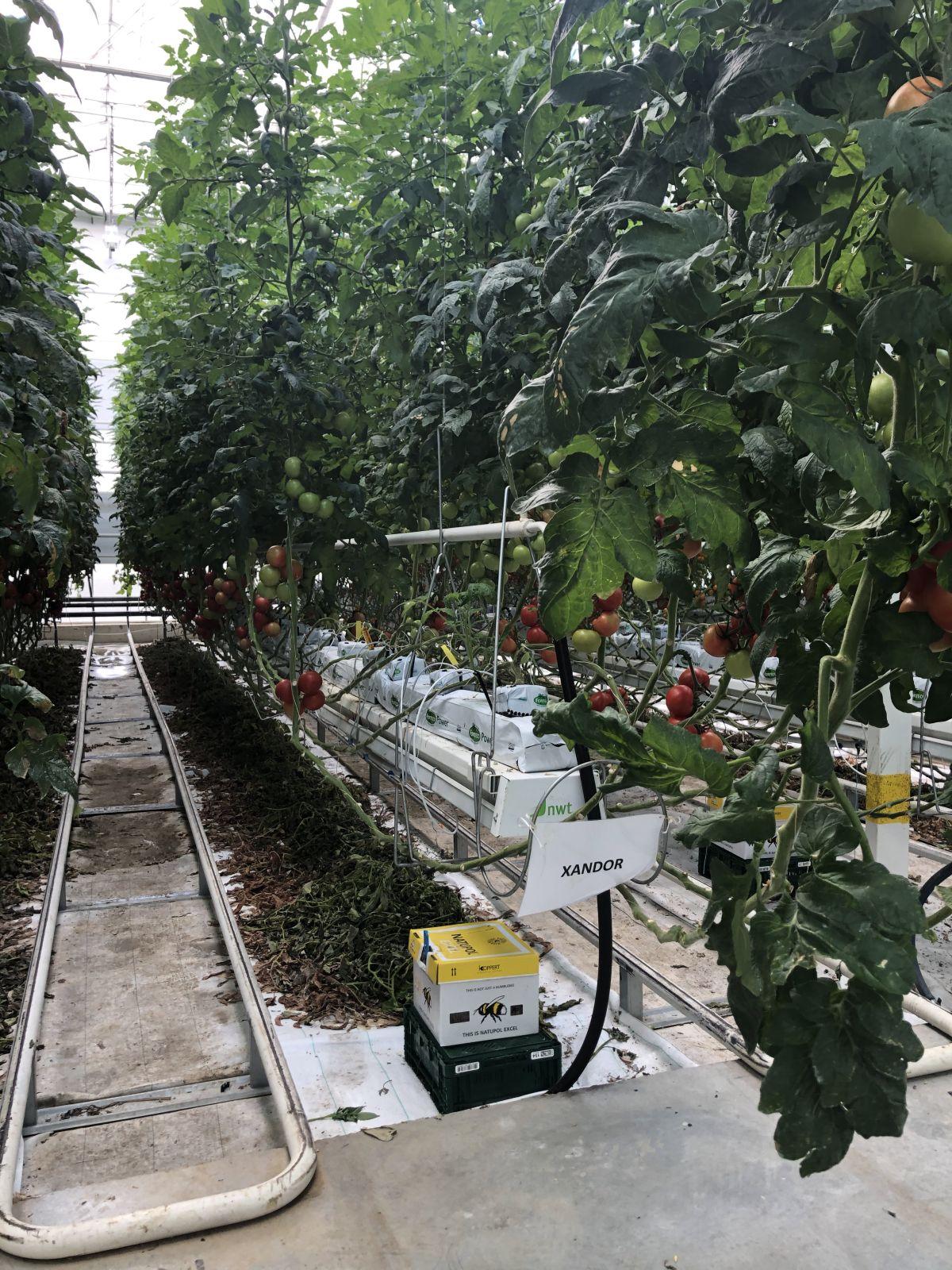 Zrající rajčata na farmě Bezdínek.